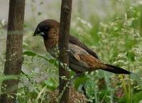 Image of: Lonchura striata (white-rumped munia)