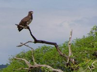 Black-breasted Snake-Eagle - Circaetus pectoralis