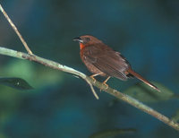 Red-throated Ant-Tanager (Habia fuscicauda) photo