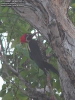 Lineated Woodpecker - Dryocopus lineatus