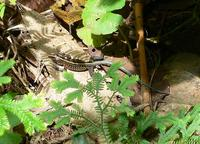 Central American Whiptail, Tiger Ameiva--