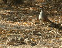 Gambrel Quail with Chicks