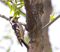 Grey-capped woodpecker C20D 02292.jpg