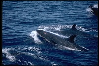 : Pseudorca crassidens; False Killer Whale