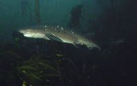 Notorynchus cepedianus, Broadnose sevengill shark: fisheries, gamefish, aquarium