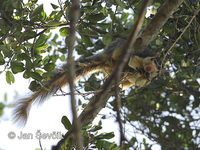 Ratufa macroura - Sri Lankan Giant Squirrel