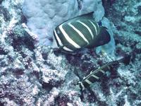 Image of: Zebrasoma veliferum (sailfin tang)