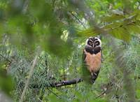 Spectacled Owl (Pulsatrix perspicillata) photo