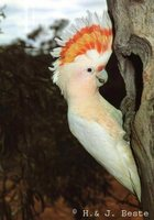 Pink Cockatoo - Cacatua leadbeateri