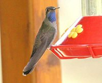 Blue-throated Hummingbird - Lampornis clemenciae