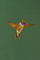 Black-chinned Hummingbird , in flight hovering , Archilochus alexandri , Portal , Arizona , U . ...