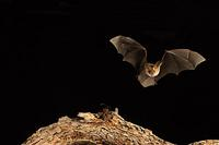 ...Pallid Bat ( Antrozous pallidus ) about to take bug insect , Mesquite Branch ( Prosopis pubescen