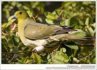 White-Bellied Green Pigeon 紅翅綠鳩 IMG 3032.jpg