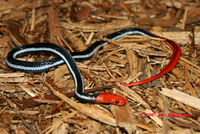 : Bungarus flaviceps; Red Headed Krait