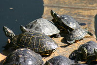 : Graptemys pseudogeographica; False Map Turtle