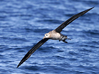 Black-footed Albatross about 30 miles offshore. 1 October 2006. Photo by Angus Wilson