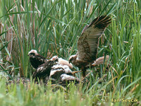 Photo of Circus aeruginosus, Marsh Harrier, Rohrweihe, moták pochop.