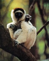 photo of Verreaux's sifaka and baby