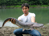 Silurus biwaensis, Lake Biwa catfish: gamefish