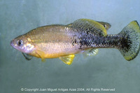 Ilyodon furcidens, Goldbreast splitfin: fisheries, aquarium