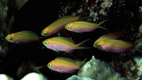 Pseudanthias bartlettorum, Bartlett's anthias: