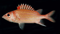Neoniphon aurolineatus, Yellowstriped squirrelfish: