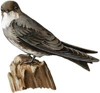 Image of: Riparia riparia (collared sand martin;bank swallow)