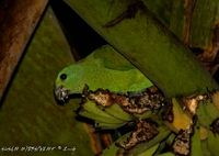 Blue-headed Racquet-tail - Prioniturus platenae