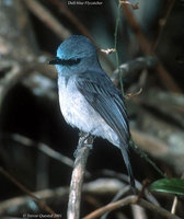 Dull-blue Flycatcher - Eumyias sordidus