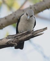 White-headed Vanga (Leptopterus viridis) photo