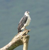 Gray-backed Hawk - Leucopternis occidentalis
