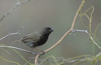 Black-faced Grassquit (Tiaris bicolor) photo