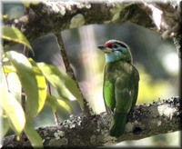 Moustached Barbet - Megalaima incognita