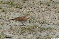 Red-capped Lark - Calandrella cinerea