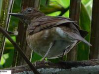 Pale-vented Thrush - Turdus obsoletus
