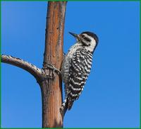 Ladder-backed woodpecker at Dave Jasper's near Portal