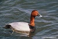 Common Pochard Aythya ferina