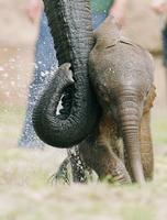 ...Three day old nameless elephant baby plays in his enclosure at the Zoological Garden (Tierpark)