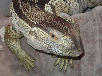 : Varanus albigularis; White-throated Monitor