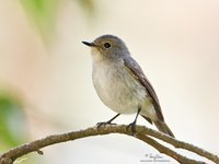 Little Pied Flycatcher (female) Scientific name - Ficedula westermanni