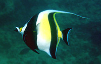 Zanclus cornutus, Moorish idol: fisheries, aquarium