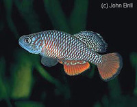 Nothobranchius kirki, Redfin notho: aquarium