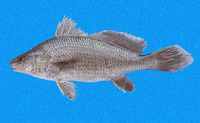 Ophioscion strabo, Squint-eyed croaker: