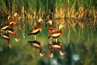 Dendrocygna autumnalis - Black-bellied Whistling-Duck