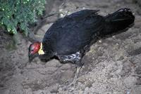 Alectura lathami - Australian Brush-turkey