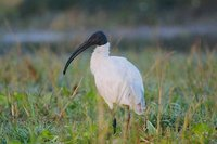 Black-headed Ibis - Threskiornis melanocephalus
