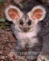 ...A rarely seen and even more rarely photographed greater glider , an Australian nocturnal animal