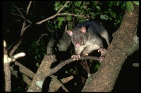 : Trichosurus vulpecula; Brush-tailed Possum
