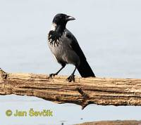 Photo of vrána obecná, Corvus corone, Hooded Crow, Nebelkrahe