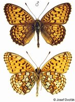 Brenthis hecate - Twin-spot Fritillary